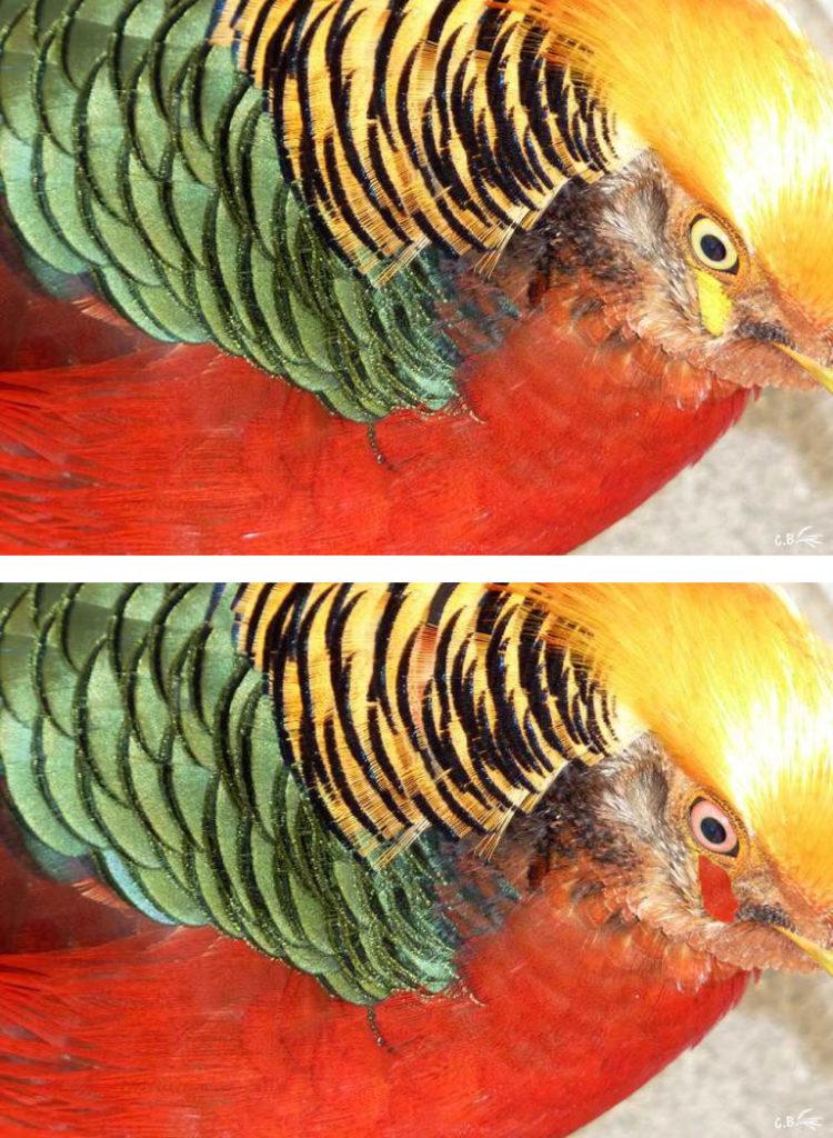 Faisan photos d 39 animaux for Oiseau domestique interieur